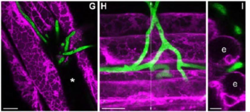 Hifas de Colletotrichum tofieldiae (en verde) penetrando en las raíces de A. thaliana (en magenta). Fuente: Cell Journal